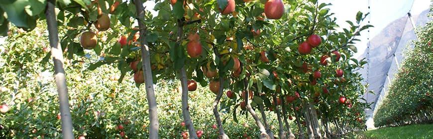 Tam Bodur Meyve Fidanları