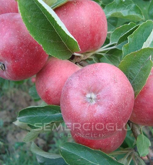 Amasya Elma Fidanı (Açık Kök Yabani Elma Anaçlı)