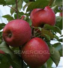Pink Lady Elma Fidanı (Açık Kök MM106 Anaçlı)