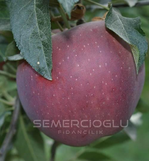 Scarlet Spur Elma Fidanı (Açık Kök Yabani Elma Anaçlı)