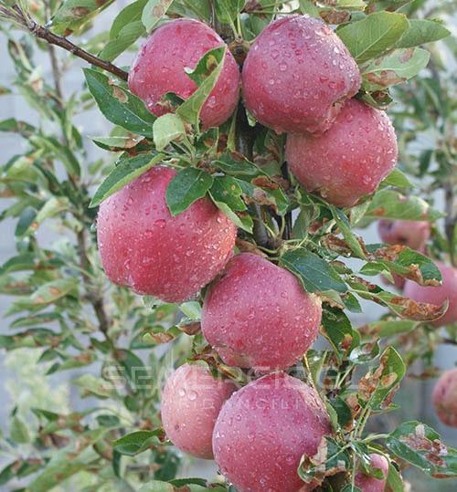 Starkrimson Delicious Elma Fidanı (Açık Kök Yabani Elma Anaçlı)