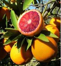 Kan Portakal Fidanı (Tüplü)