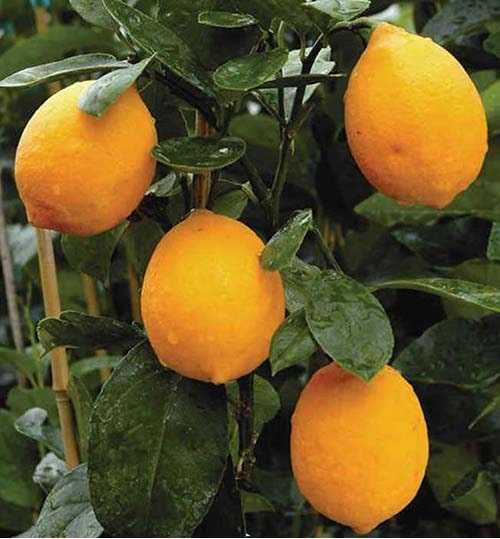 Mayer Limon Fidanı (Tüplü)